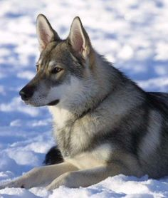 Breed: Tamaskan Dog    Stats: This rare dog breed from Finland can grow up to 95 pound