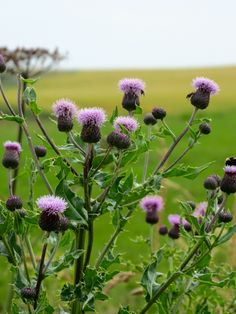 The thistle, which you see everywhere and on everything in Scotland.