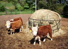Farmers Downsize Flocks With Miniature Hereford Cows #pets