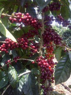 Finca Dos Marias - Family owned coffee farm in Guatemala - buy it at Jones Coffee Roasters in Pasadena!!