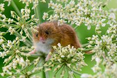 Harvest mouse trying to hide D61_2819-37.jpg | Flickr - Photo Sharing!