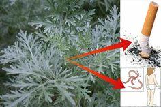 Încearcă această plantă care te scapă de viermi, paraziți și fumat... Nu vei regreta! Herbs, Outdoor, Plants, Outdoors, Herb, Outdoor Living, Garden, Spice