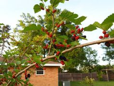 Idea For Mulberry Tree