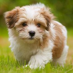 Does it get any cuter than this? No. The answer is no. #Havanese