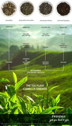 Infografía sobre el té (Twinings)