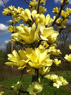yellow magnolia, just bought one of these for my front yard
