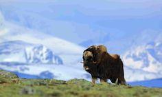 Musk ox in Greenland (Dreamstime)