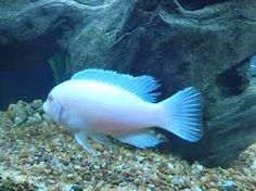 Want (again): Albino cichlid