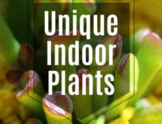 Do you have a Pothos vine? Check out this post on Pothos Vine Care and learn about light requirements, water requirements, and overall Pothos care tips! Indoor Fig Trees, Indoor Plants, Indoor Garden, Pothos Vine, Snake Plant Care, Low Light Plants, Plant Guide, Rubber Tree, Spider Plants