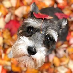 "11k Likes, 127 Comments - Schnauzer World!® (@schnauzerworld) on Instagram: ""Christmas is comingTAP link in my bio @schnauzerworld and shop unique schnauzer gifts for your…"""