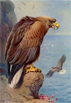 Greenland White-tailed Eagle by Archibald Thorburn Eagle Pictures, Animals Artwork, Animal Art, Vintage Birds, Black Pen Sketches, Hunting Art, Bird Illustration, Bird Pictures, Bird Prints