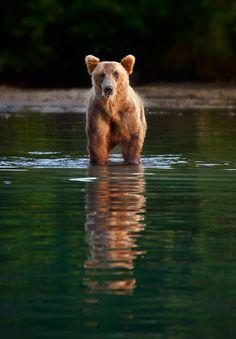 Brown bear, Lake Clark NP, Alaska, by Ian Plant