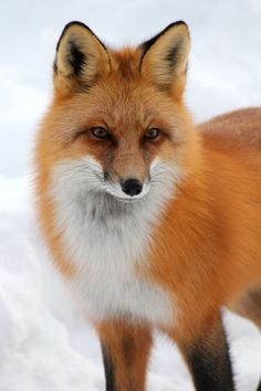 Nature Tattoo Wildlife Red Fox 59 Ideas For 2019 Large Animals, Animals And Pets, Baby Animals, Cute Animals, Wild Animals, Summer Nature Photography, Foxes Photography, Fabulous Fox, Pet Fox