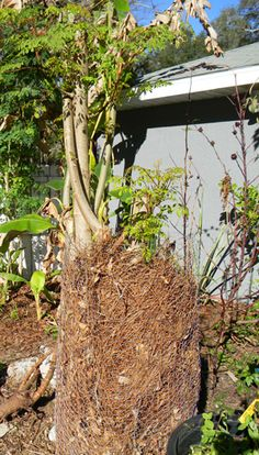 Growing moringa trees outside the tropics and protecting them from frost.