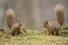 Red Squirrels at Play by Sylvia Fresson on 500px