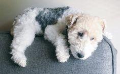 #WireFoxTerrier