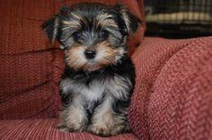 morkie puppies | Cute little Morkie puppy! | Animals
