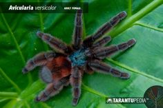 The Avicularia versicolor (Antilles pinktoe tarantula), also known as the Martinique Red Tree Spider or the Martinique Pinktoe, is native to Guadeloupe and Martinique in the Caribbean Sea. Pink Toes, Red Tree, Spiders, Female, Pictures, Photos, Spider, Grimm