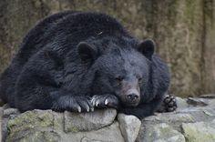 「ツキノワグマ 寝てる」の画像検索結果
