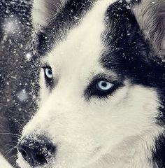 Husky.