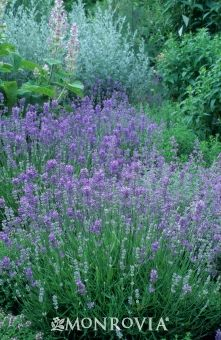Monrovia's Ashdown Forest English Lavender details and information. Learn more about Monrovia plants and best practices for best possible plant performance.