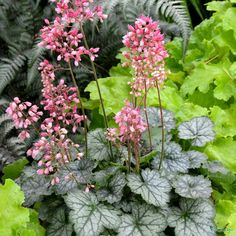 Add a pop of peppermint to any well lit window or conservatory with this Heuchera plant. Watch as the Miniature peppermint-green leaves, veiled in silver / white with pink flowers,darken to a stronger pink. Pink Garden, Shade Garden, Garden Plants, House Plants, Perennial Bulbs, Hardy Perennials, Chelsea Flower Show, Conservatory Plants, Dwarf Plants