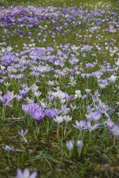 Millionen von Krokusblüten