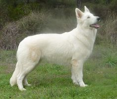 berger blanc suisse dog photo | Trebons Kennel Berger Blanc Suisse - Trebons Dog