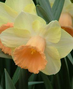 Narcissus Fidelity - Trumpet Daffodils - Narcissi - Fall 2013 Flower Bulbs