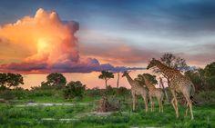 A landscape view of giraffe walking beneath a breathtaking technicolour sunset in the Okavango Delta, Botswana