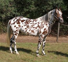 Other Appaloosa Stallion Leopard Appaloosa, Appaloosa Horses, Most Beautiful Horses, Pretty Horses, Horse Fly, Western Riding, Leopard Spots, Horse Pictures, Animal Pictures