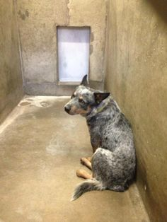 NEXT on DEATH ROW - don´t hesitate, this shelter kills very fast --- Heeler Male 2-3 years old  Kennel A3  Available NOW****$51 to adopt   LOCATED AT ODESSA TEXAS ANIMAL CONTROL. https://www.facebook.com/photo.php?fbid=721115521246022&set=pb.248355401855372.-2207520000.1390986427.&type=3&theater