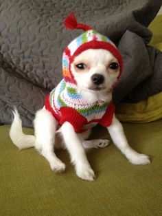It's my cake day!! Here's my chihuahua Pixel dressed in her finest sweater. - Imgur