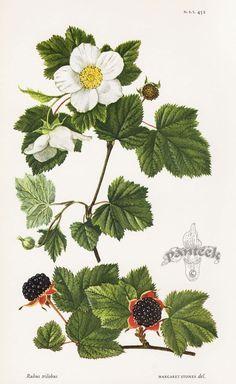 vintage blackberries - Cerca con Google