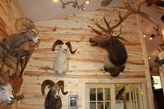 Aspen makes a beautiful interior finish for walls, ceilings, cabinets, or other projects. The color variation in the wood adds character, as you can tell from this trophy room! Deer Hunting Decor, Trophy Rooms, Cedar Siding, Beautiful Interiors, Elk, Aspen, Antlers, Game Room, Backdrops