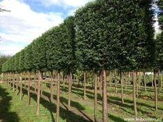 Groenblijvende leibomen als hoge 'privacy-haag'