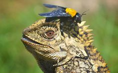 Una arriesgada mosca se posa sobre la cabeza de un dragón de bosque en Sambas, Indonesia (Frenki Jung, 2015)