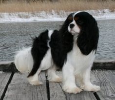 CAVALIER KING CHARLES SPANIELS Orchardhill Charismatic