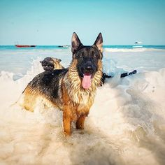The one in front has no idea what's going on behind him!! @the_island_dog germanshepherd #germanshepherds #germanshepherdmemes #germanshepherdphotos #germanshepherddog #gsdstagram #germanshepherdpictures#gsd #gsdphotos #gsdpictures German Shepherd, German Shepherds, German Shepherd dog, german shepherd memes, german shepherd photos, gsdstagram, german shepherd pictures, gsd, gsdphotos, gsd pictures