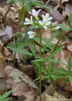 Cut-leaved Toothwort  Cardamine concatenata (Dentaria laciniata) (native plant)
