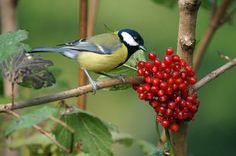 GREAT TIT   Flickr - Photo Sharing!