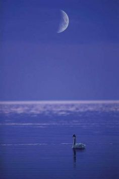 by Chad Ehlers. Is this photo of an Ocean Swan Under a Moon Crescent?