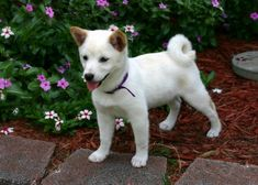 Shiba Inus are known to be one of the hardest breeds to train. Here is a comprehensive guide to help you train your Shiba Inu! Japanese Dog Breeds, Japanese Dogs, Japanese Free, Sweet Dogs, Cute Dogs, Chien Shiba Inu, Dog Breeds List, Dog School, White Puppies