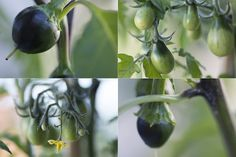 Vyséváme chilli a papriky Eggplant, Vegetables, Plants, Life, Cactus, Eggplants, Vegetable Recipes, Plant, Veggies