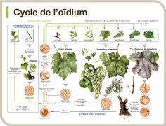 Cycle de l'oidium