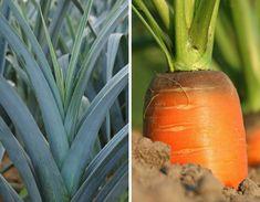 Ça y est ? Vos carottes commencent à lever ? Vos poireaux sont repiqués ? Un seul slogan au potager : Mouche de la carotte, Mineuse du poireau, même combat... Permaculture, Plantation, Voici, Slogan, Gardening, Gardens, Carrots, Cilantro, Natural Garden