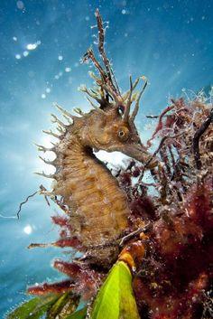 #seahorse in its habitat.