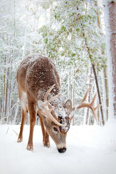 Deer in the Snow nature winter snow deer wildlife Beautiful Creatures, Animals Beautiful, Cute Animals, Animals In Snow, Animals Amazing, Beautiful Images, Beautiful Winter Scenes, Funny Animals, Winter Szenen