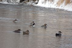Hooded Mergansers and Gadwall ©Steve Frye. Wild Bird Company - Boulder, CO, Saturday Morning Bird Walk in Boulder County - December 26, 2015.