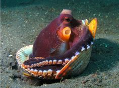 Subject: Octopus in Clam Shell Photographer: Jackie Bernard Taken in Lembeh Strait, Indonesia with the DC1200. December 2011 Photo of the Month winner